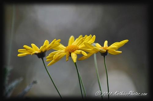 202-365 Yellow Daisies