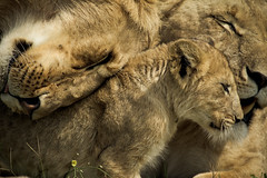 Lion Hugs (randon) Tags: africa family wild camp cute cub kenya wildlife lion adorable safari lioness governors governorscamp flickrbigcats