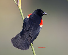 Red Winged Blackbird On Alligator Flag Green Cay Wetlands (kevansunderland) Tags: birds canon ngc redwing redwingedblackbird floridawildlife birdphotography backbird floridabirds alligatorflag greencaywetlands coth5