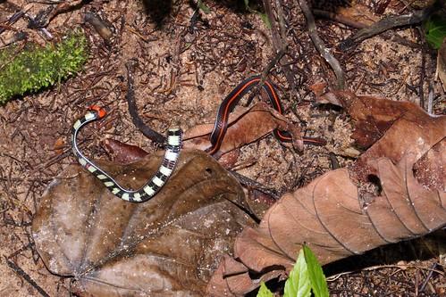 Calliophis Intestinalis Venom Calliophis Intestinalis