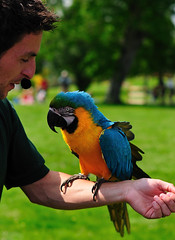 Leeds Castle - Blue and Yellow Macaw (Andrew Hounslea) Tags: blue england castle yellow 50mm gold kent nikon display unitedkingdom f14 g 14 leeds beak feathers feather nikkor 50 macaw leedscastle handler maidstone blueandgoldmacaw blueandyellowmacaw 14g d300s