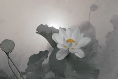 Lotus Flower - IMG_0395-1-1000 (Bahman Farzad) Tags: flower macro yoga fog peace lotus relaxing peaceful meditation therapy lotusflower lotuspetal lotuspetals lotusflowerpetals lotusflowerpetal