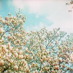 Les magnolias...