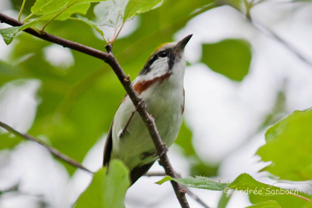 Chestnut-sided Warbler (Dendroica pensylvanica)-11.jpg