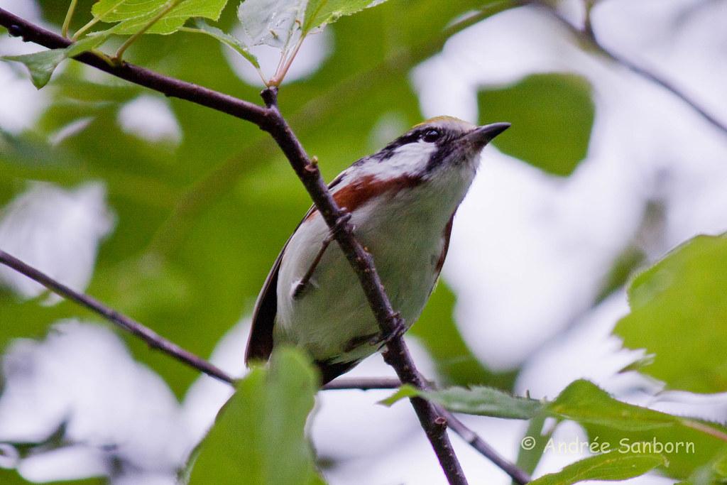 Chestnut-sided Warbler (Dendroica pensylvanica)-15.jpg
