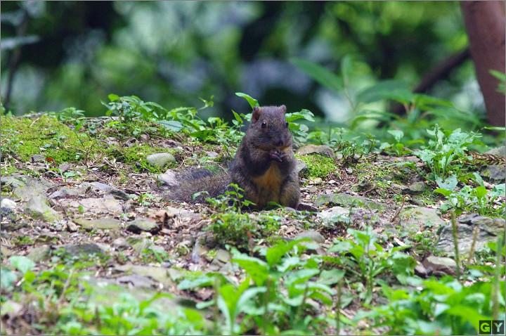 --赤腹松鼠與黃胸藪--