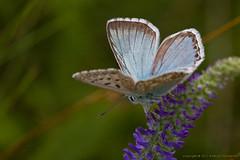 _2011_07_25_83 Polyommatus coridon