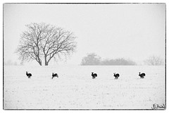Rabbit's Parade (lichtpinsler) Tags: schnee winter snow cold tree rabbit field hare 5 five running nicolai pfalz hasen winterday harich sdpfalz palatinate feldhasen