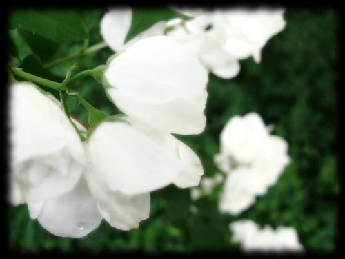 WhiteDewDrops