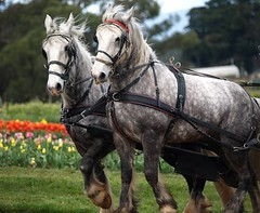 "Horses at Melbourne's tulip festival • <a style=""font-size:0.8em;"" href=""http://www.flickr.com/photos/44919156@N00/5983881169/"" target=""_blank"">View on Flickr</a>"