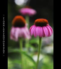 Beauty In Blooms (Fionn Luk) Tags: park pink summer toronto ontario canada hot flower color green nature canon garden focus bokeh details july scene bloom 5d edwards edwardsgarden