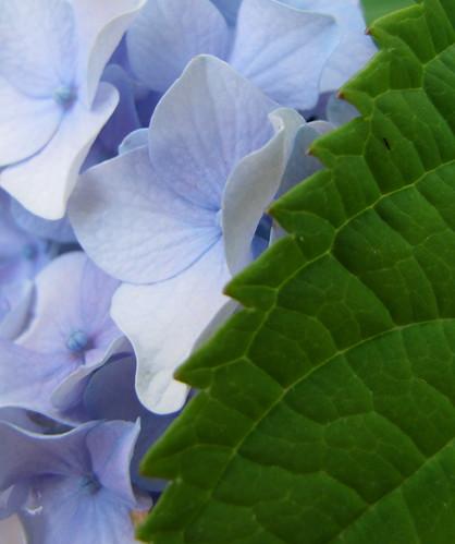 Nikon Blue Hydrangea