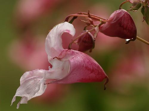 Reuzenbalsemien - Himalayan balsam by nikjanssen