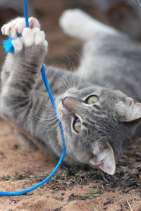 Gray tabby cat playing with yarn