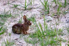 Wildwood (Brothers) Vacation 2011 - Day 4 (7/29/2011) - 68 (nomad7674) Tags: vacation cute rabbit bunny bunnies beach brothers nj july shore jersey boardwalk rabbits coney wildwood 2011 brosv 20110729