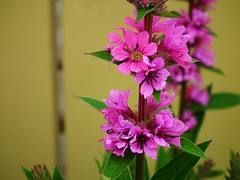 "Salicaire ""Robert"" Lythrum (Acadie67) Tags: canada flower fleur garden jardin atlantic finepix acadie atlantique lythrum hs10 salicaire platebande"