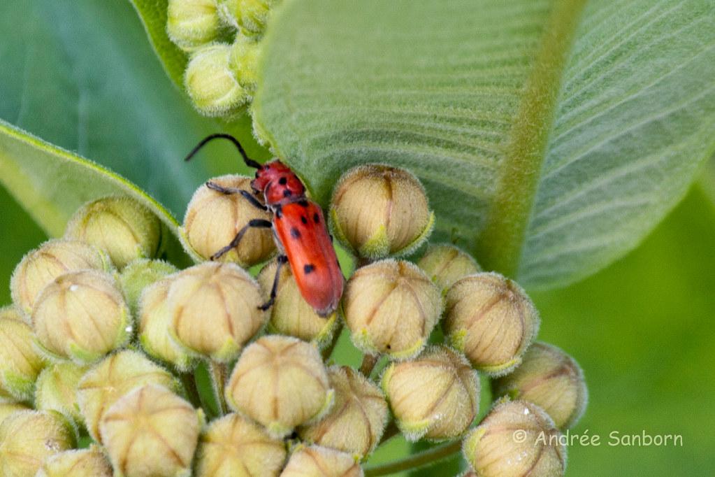 Red Milkweed Beetle (Tetraopes tetrophthalmus)-10.jpg