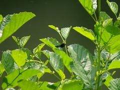 Spot the blue dragon (acl John) Tags: insect runcorn wiggisland