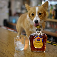 The Queen's Corgi prefers a Different Crown (Studio d'Xavier) Tags: dog ice animals bar drunk square kitten elizabeth dof bokeh royal pembrokewelshcorgi whiskey lick canadian queen depthoffield cuddly crown crownroyal 500x500 themeoftheweek totw hip2bsquare getpushed trejackaward