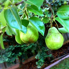 Pears. #nofilter