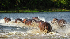 Hippos on the run (Markus CH64) Tags: nikon falls hippo hippopotamus uganda markus murchison nilpferd flusspferd travelphotography ch64 d3s reisefotographie wwwfotoreisench