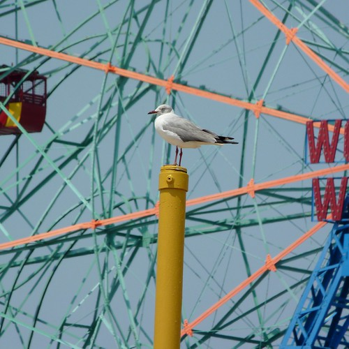 Gray-hooded Gull is not impressed by your Wonder Wheel