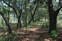 Blue blaze (floridahikes) Tags: florida hiking hike bronson charlesbronson floridatrail stateforest joshuacreek floridahikes