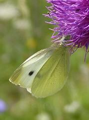 Small White (pieris rapae) (celerycelery) Tags: uk white macro nature butterfly insect wildlife butterflies lepidoptera pierisrapae smallwhite ukspecies
