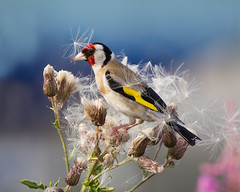 Messy Eater (Andrew Haynes Wildlife Images) Tags: bird nature rugby wildlife goldfinch warwickshire draycotewater ajh2008