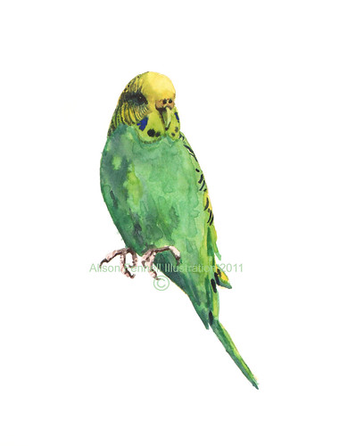 bird Budgie Puck COPYRIGHT