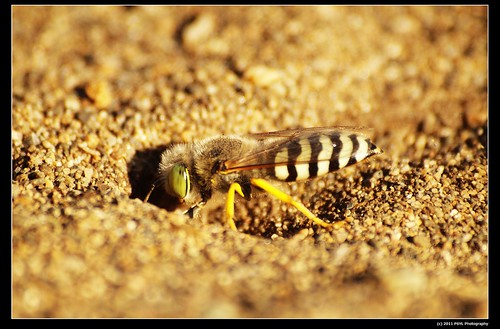 Unknown Sand Wasp (Family Sphecidae)