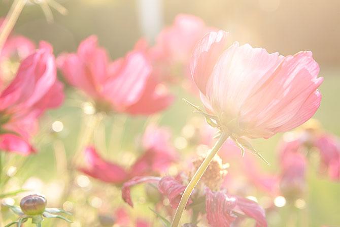rosenskara