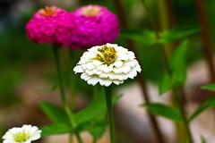 Aug072011_0893-Flowers (©Delos Johnson) Tags: flowers canon garden sunflower topaz delos g9 detail4 denoise