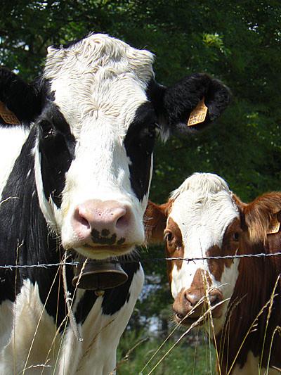 vache et veau.jpg