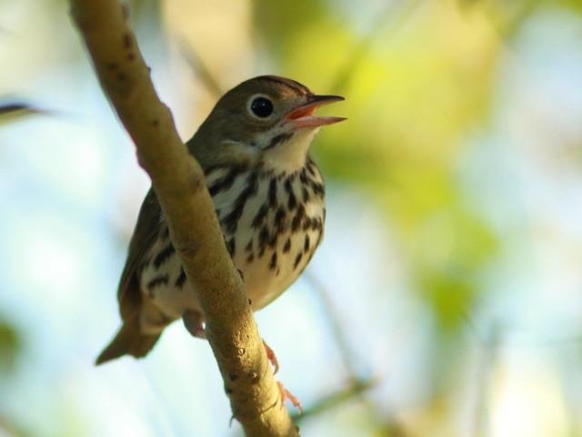 Ovenbird 2-20110928