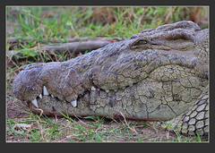 Bad boy smile! (Rainbirder) Tags: nilecrocodile crocodylusniloticus maracrocodile