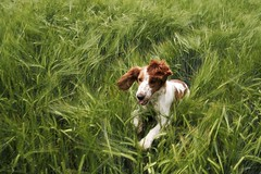 Field Swimming (L e n k a) Tags: dog spaniel springer bella welsh