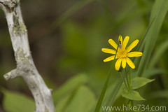 "Mountain Arnica • <a style=""font-size:0.8em;"" href=""http://www.flickr.com/photos/63501323@N07/5886043933/"" target=""_blank"">View on Flickr</a>"
