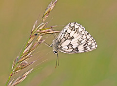 Marbled White One (Andrew Haynes Wildlife Images) Tags: butterfly insect rugby warwickshire marbledwhite draycotemeadows ajh2008