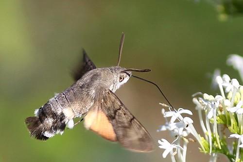 The Ultimate Hummingbird Hawk Moth series