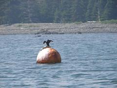 Never let them see you sweat (Hodgey) Tags: canada island newbrunswick cormorant passamaquoddybay sniff buoy buoyant neverletthemseeyousweat