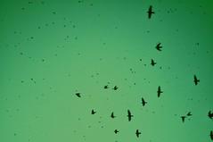 desprendidos 2 (Mara SoL Rodrguez) Tags: trees sunset red verde green bird birds arbol rojo arboles aves pjaros rbol palomas tarde turqueza