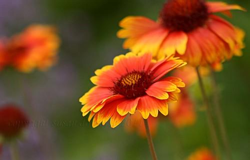 Blanket Flowers {316/365}