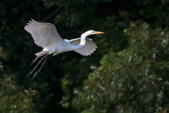 Great Egret in Flight (Bill'sLIPhotos) Tags: park white ny newyork bird nature canon eos rebel li flying state alba wildlife large july longisland ardea sunkenmeadow egret avian greategret bif xsi ardeaalba 2011 100400 ef100400l 450d canon450d canonxsi