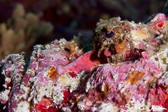 reef stonefish - synanceia verrucosa (Saschj) Tags: detail macro toxic danger indonesia underwater id diving nopeople sealife poison sideview venom aquaticlife labuanbajo komodonationalpark reefstonefishsynanceiaverrucosa