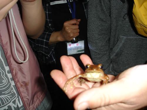 7/9陽明山生態工作價期,夜間觀察常常會看到許多蛙類