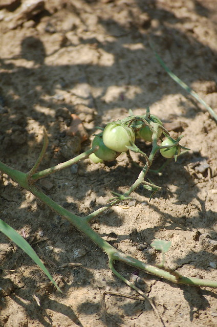 Tomatoes in progress, Green Leaf Learning Farm, South Memphis, Tenn.