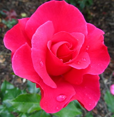 Beautiful Pink Rose (Misty Jane) Tags: pink flower rose petal