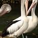 Os pelicanos de olho amarelo