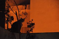 (Jlia ) Tags: shadow orange black planta cat plantas negro ombra sombra gato naranja negra gat negre plantes taronja flickraward
